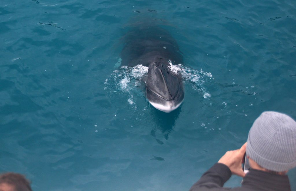 Minke Whale taking a peek at us on a whale watching tour from Reykjavik
