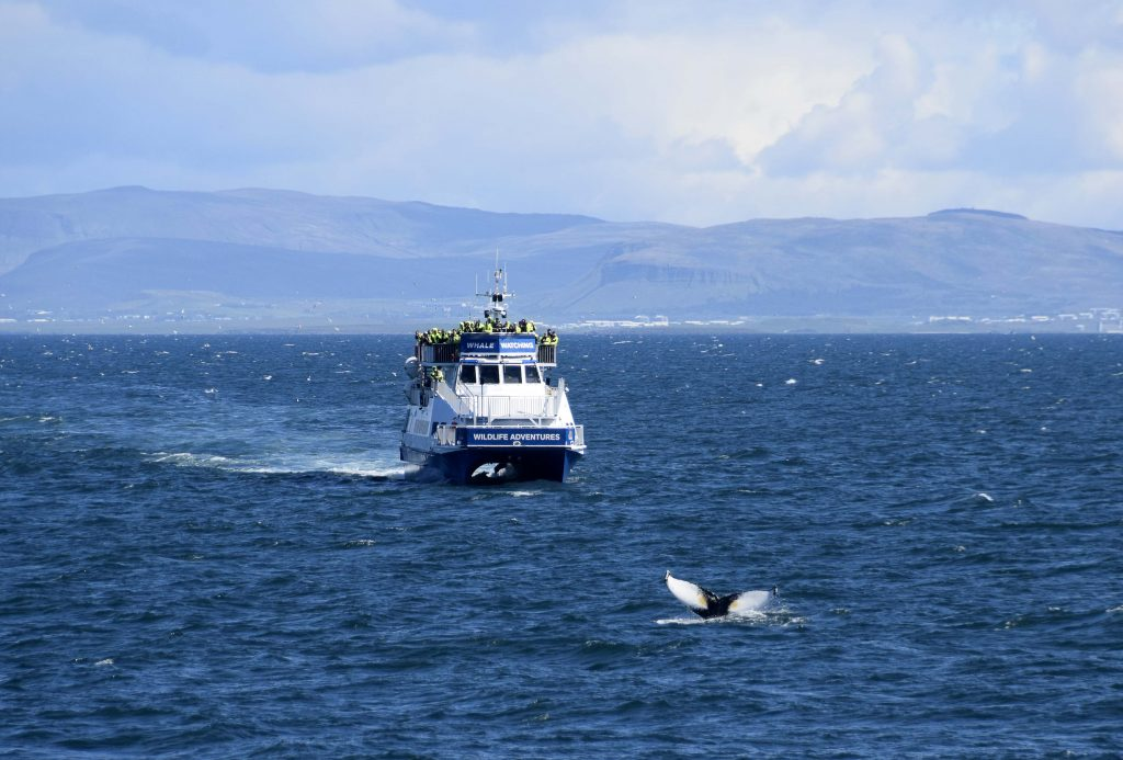 Whale Watching from Reykjavik